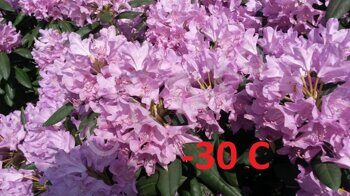 Рододендрон Catawbiense Grandiflorum 50-60 С10